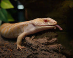 Albino Blue Tongue Skink for Sale
