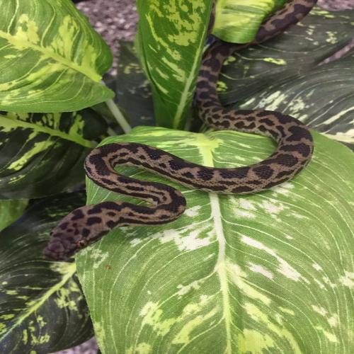 Blonde Spotted Pythons for Sale