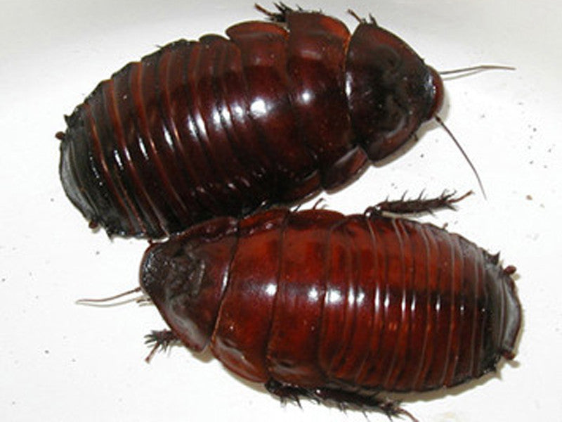 Giant Burrowing Cockroaches Juvenile for Sale