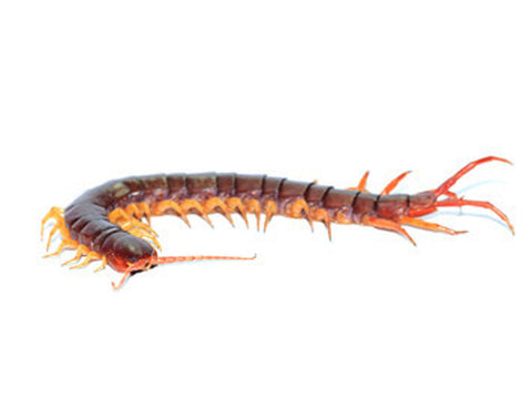 Centipede Juvenile for sale