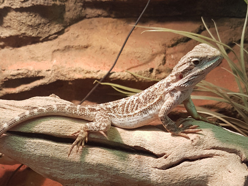 Central Bearded Dragons for Sale