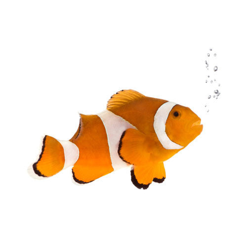 Clown fish for sale kellyville pets for Clown fish for sale