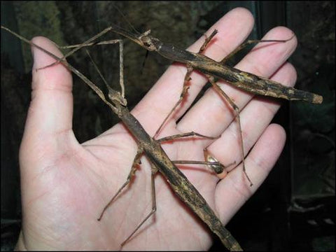 Crown Stick Insects for Sale