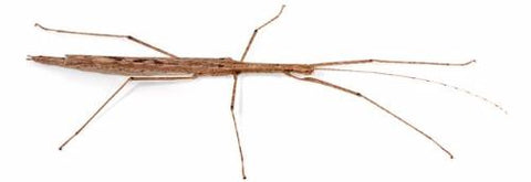 Cyclone Larry Stick Insects for Sale
