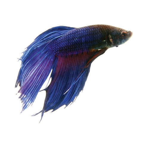 Betta fighter fish for sale for Betta fish sale