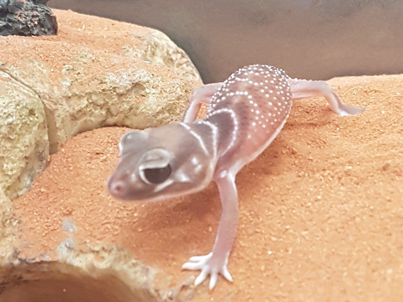 Smooth Knob Tail Geckos for Sale