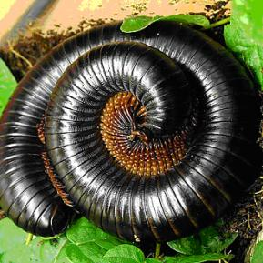 Giant Rainforest Millipede for sale
