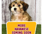 More Havanese puppies coming soon!