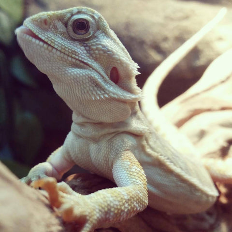 Hypo Leatherback Central Bearded Dragons for Sale