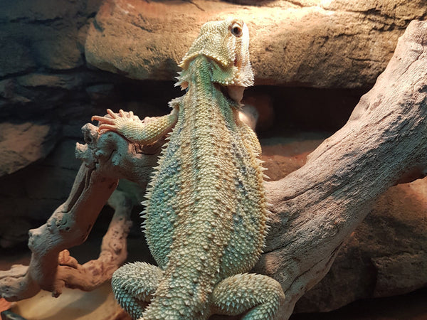 Hypo Translucent Bearded Dragons For Sale