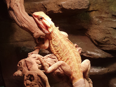 Hypo Trans L.back Central Bearded Dragons for Sale