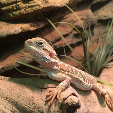 Leatherback Central Bearded Dragons for Sale
