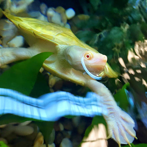 Albino Murray Short-necked turtle for sale