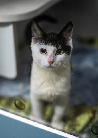 Maycey- Cat/Kitten Available for adoption Sydney NSW