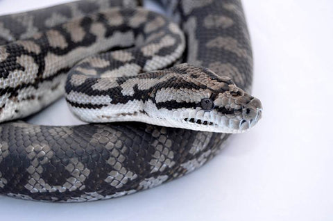 Murray Darling Carpet Pythons for Sale