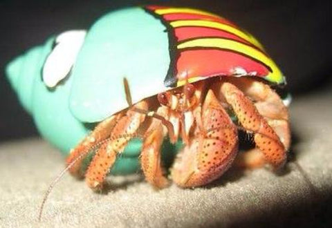 Extra Large Designer Hermit Crabs for Sale