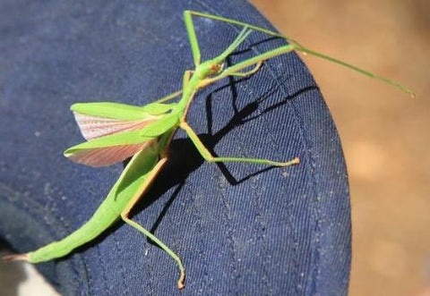 Pink Wing Stick Insects for Sale