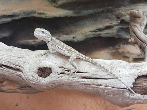 Pygmy Bearded Dragons for Sale