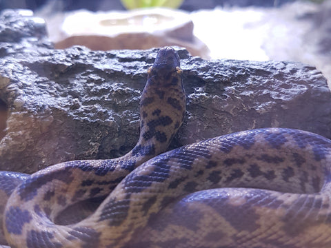 Striped Spotted Pythons for Sale