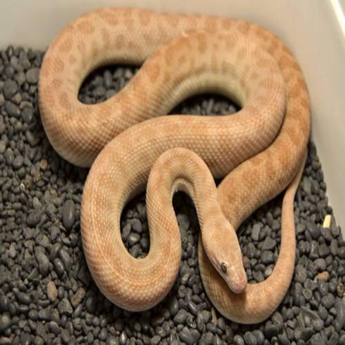 T+ Albino Children's Pythons for Sale