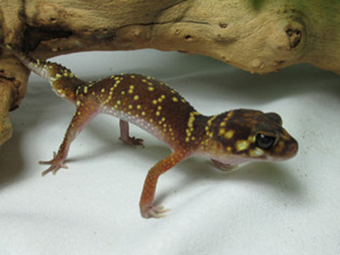 Thick Tail Gecko for sale