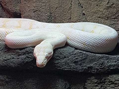 Albino Yearling Darwin Carpet Pythons for Sale