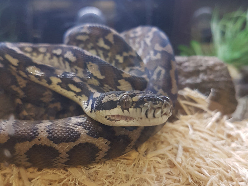 Darwin Carpet Pythons for Sale