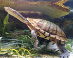 Eastern Snake-necked Turtles for Sale