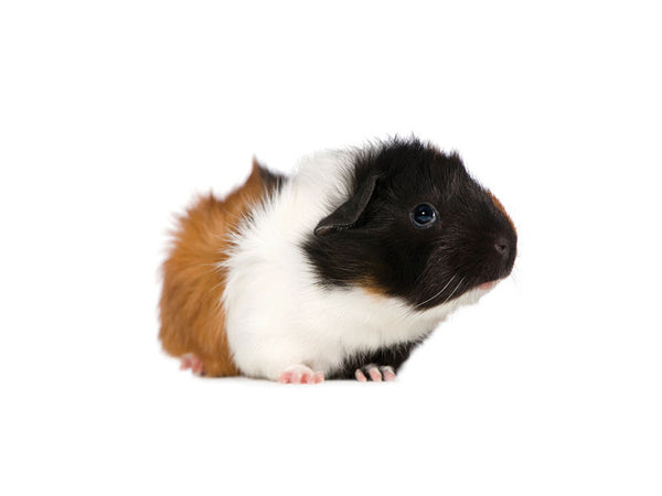 Guinea Pigs Available For Sale At Kellyville Pets