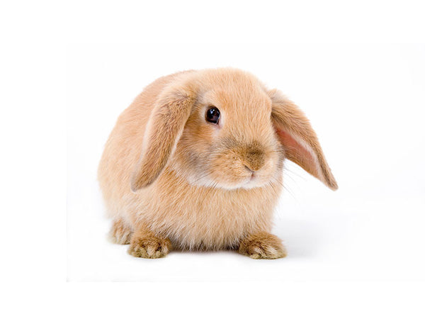 Mini Lop Rabbits Available For Sale At Kellyville Pets