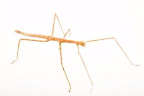 Wuelfings Stick Insects for Sale