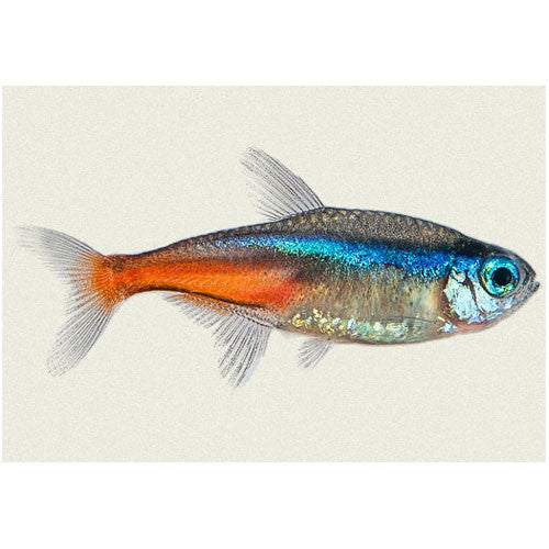 Neon Tetras For Sale