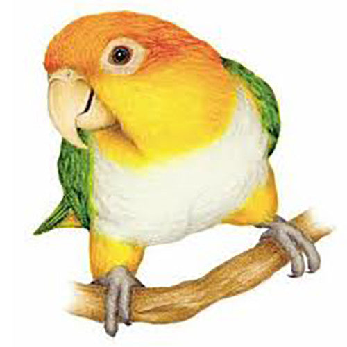 White Bellied Caique Bird For Sale