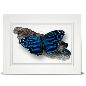 Mexican Blue Wing Butterfly - folded card