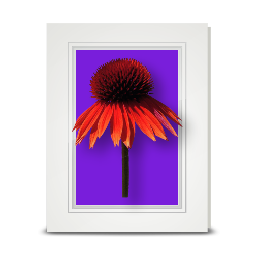 Coneflower - folded card