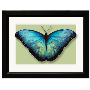 Butterfly, Blue Morpho - framed