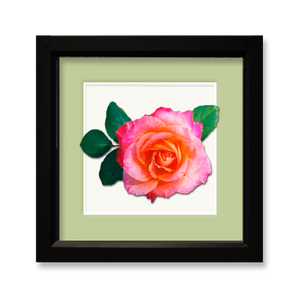 Rose, peach to pink - framed