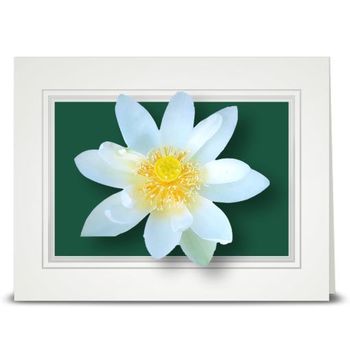 Lotus, White - folded card