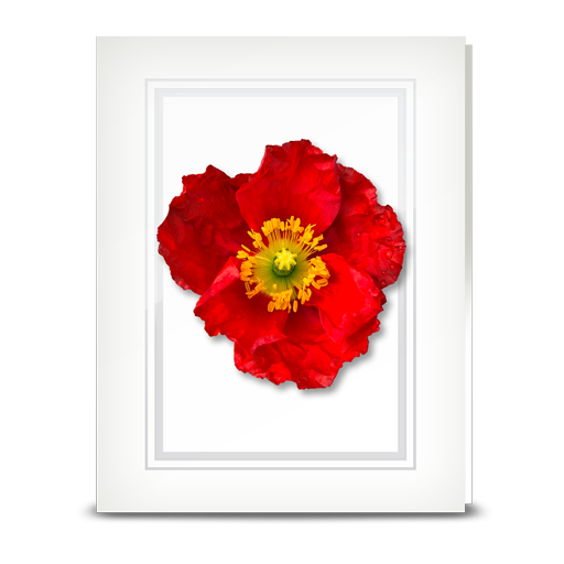 Poppy, red - folded card
