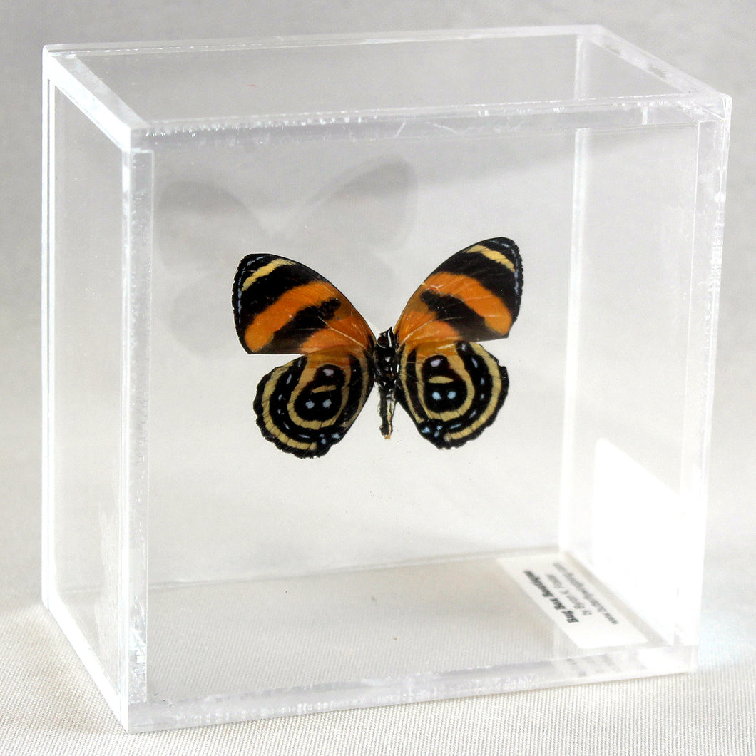 BD Butterfly Ventral 4 x 4 Acrylic Display
