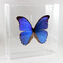 Load image into Gallery viewer, Blue Morpho 8 x 8 Acrylic Display