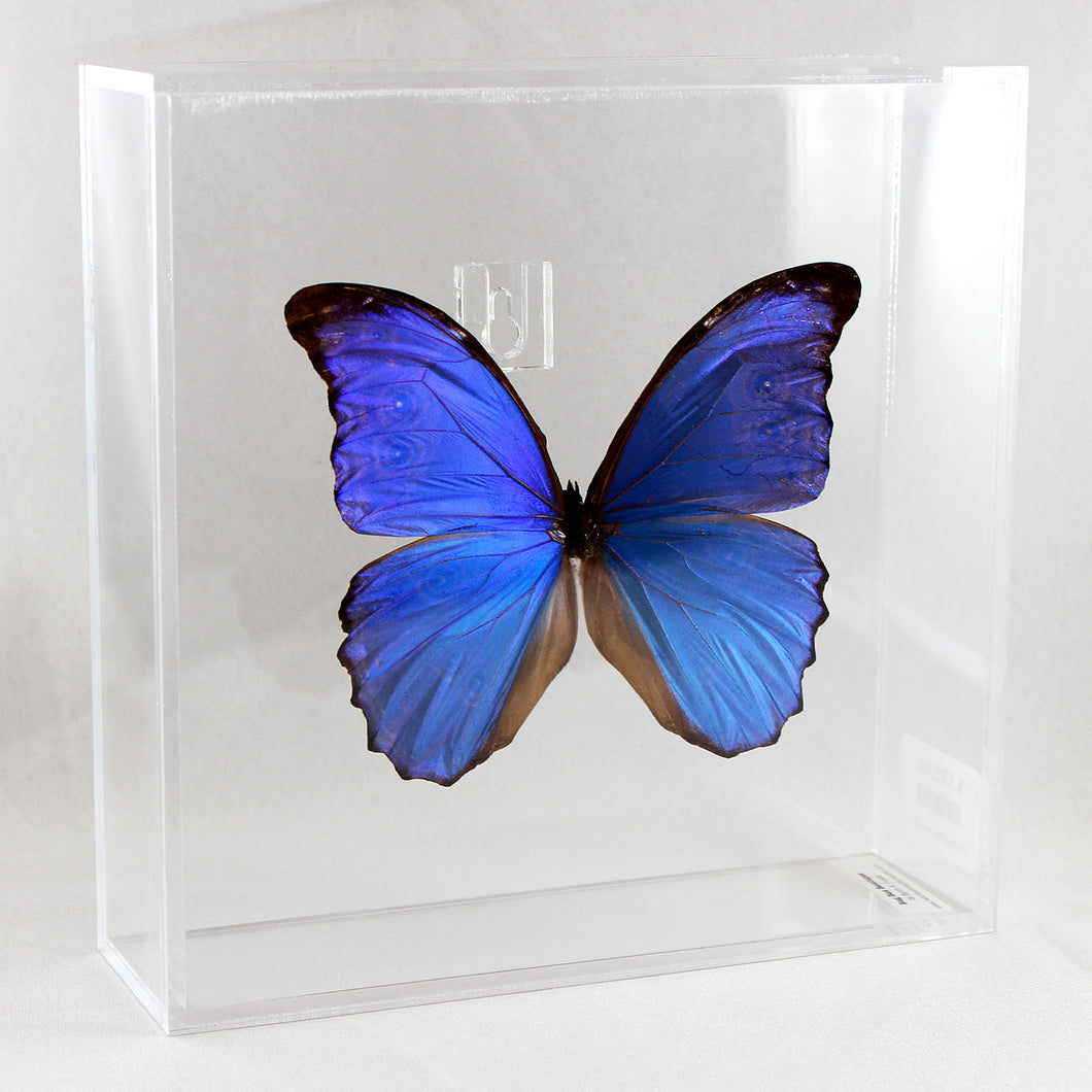 Blue Morpho 8 x 8 Acrylic Display