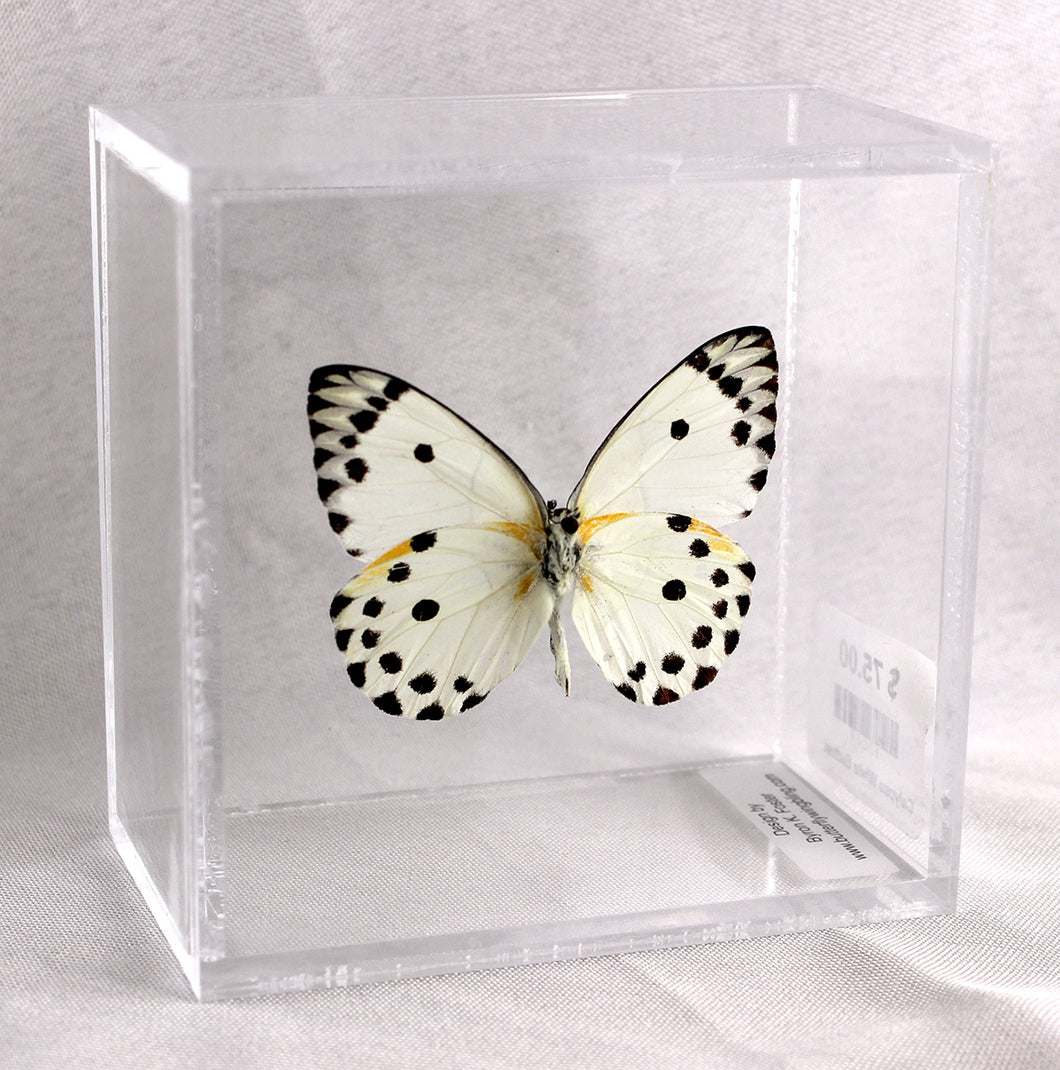 Calypso White Butterfly 4 x 4 Acrylic Display