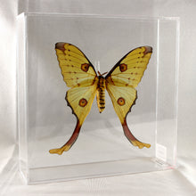 Load image into Gallery viewer, Comet Moth 10 x 10 Acrylic Display