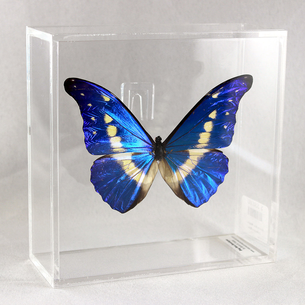 Helena Morpho 6 x 6 Acrylic Display
