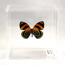Load image into Gallery viewer, BD Butterfly Ventral 4 x 4 Acrylic Display