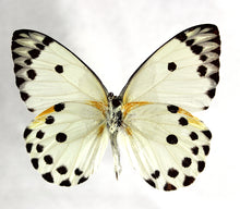 Load image into Gallery viewer, Calypso White Butterfly 4 x 4 Acrylic Display