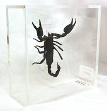 Load image into Gallery viewer, Giant Forest Scorpion 6 x 6 Acrylic Display