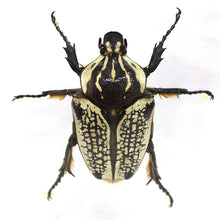 Load image into Gallery viewer, Goliath Beetle 6 x 6 Acrylic Display