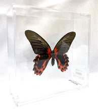 Load image into Gallery viewer, Scarlet Mormon 6 x 6 Acrylic Display